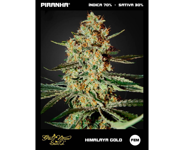 Himalaya Gold (3u)