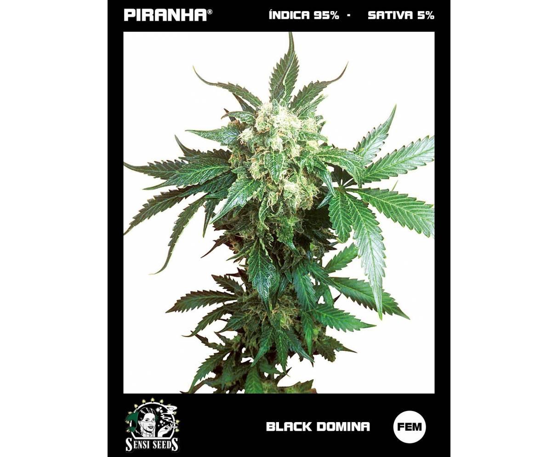 Black Domina (3u)
